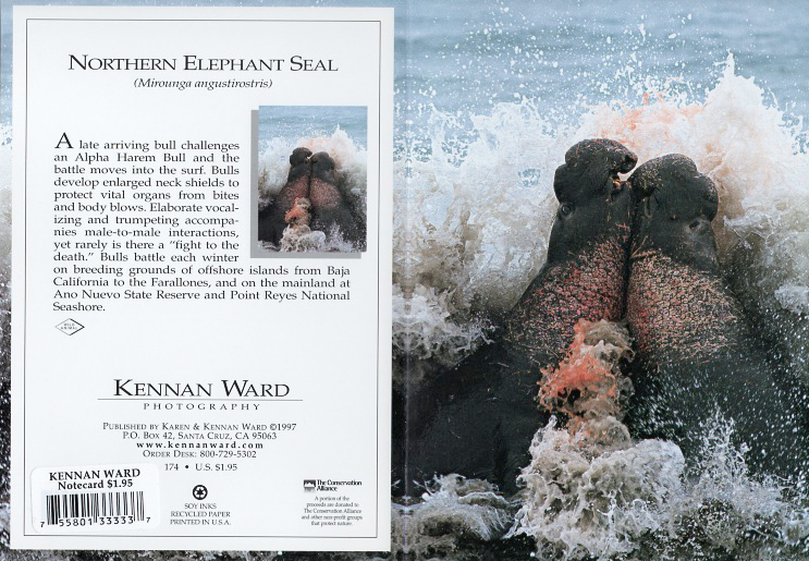 174 Elephant Seals Fighting