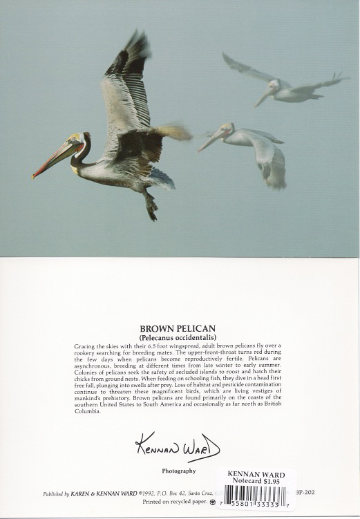 202 Brown Pelican Trio