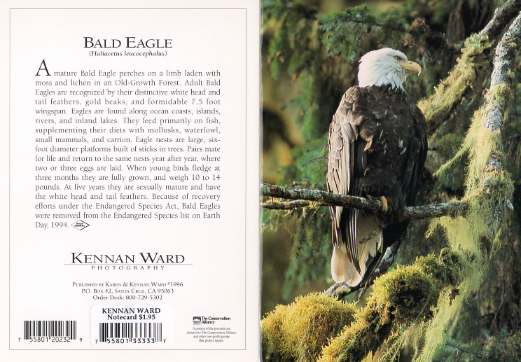232 Eagle In Old Growth Forest
