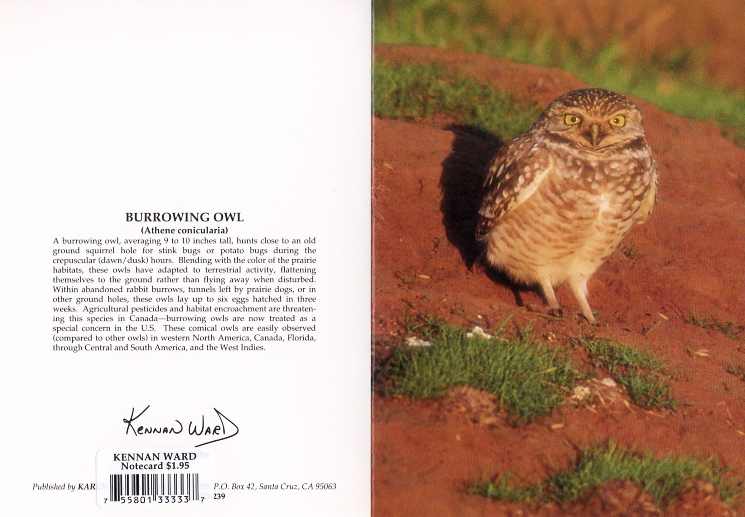 239 Burrowing Owl