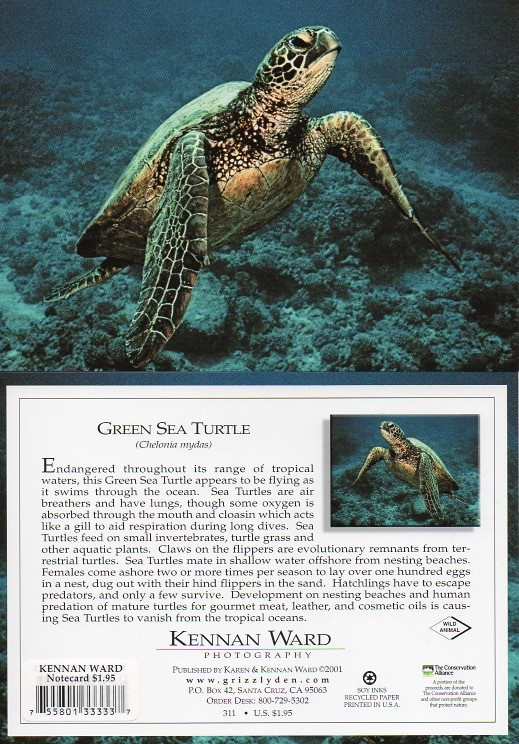 311 Green Sea Turtle